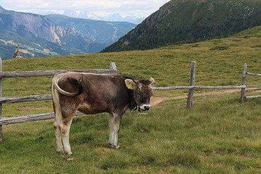 Calf, Cow, Alps, Animal, Livestock, Nature, Mountains