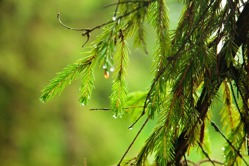 Branch, Spruce, Drops, Spring, Needles