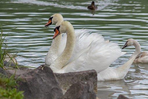 Swan, Bird, Water Bird, Swim, Pride, Lake, Water, White
