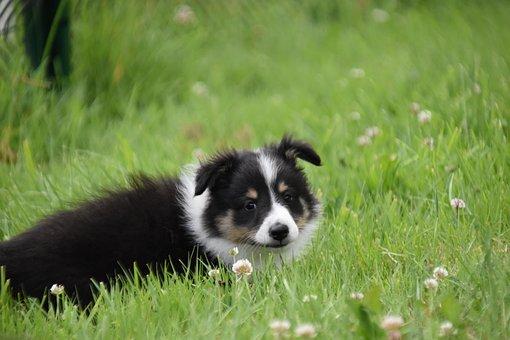 Dog, Puppy, Pup, Dog Berger Shetland
