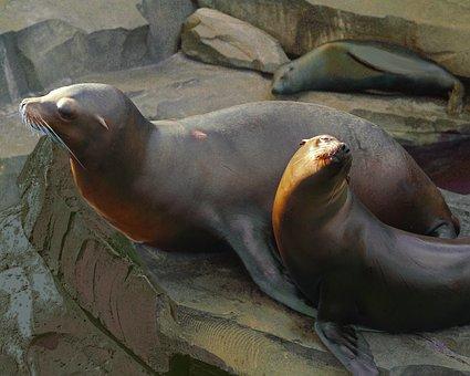 Sea lion, Zoo, Emmen, Netherlands, Mammal