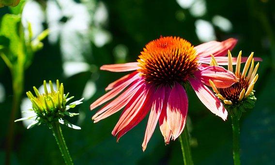 Echinacea, Flower, Blossom, Bloom, Coneflower, Nature