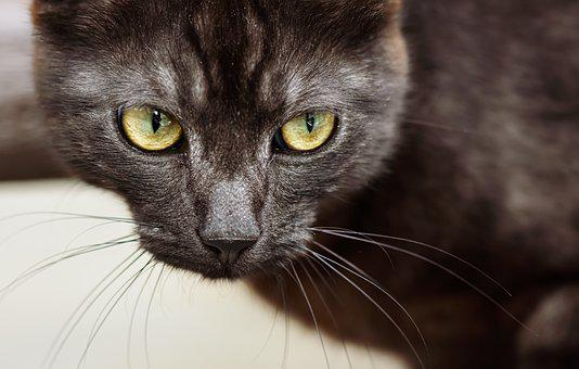 Cat, Pet, Domestic Cat, Kitten, Portrait, Cute