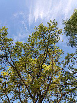 Leaves, Sky Tree, Trees In The Spring