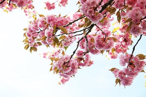 Pink, Cherry, Blossom, Flowers, Bloom, Nature, Sakura