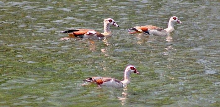 Goose, Wild Geese, Duck, Family, Fücken