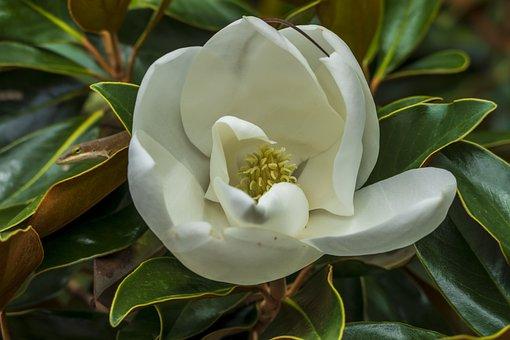 Flower, Magnolia, Spring, Nature, Bloom, Plant, Tree