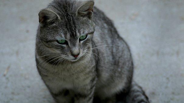 Cat, Animal, Pet, Kitten, Cute, Feline