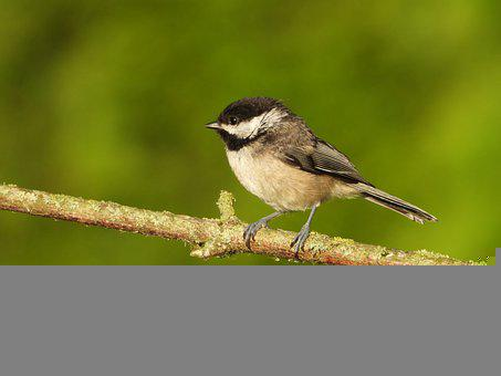 Capped Chickadee, Bird, Wild, Animal, Small, Black
