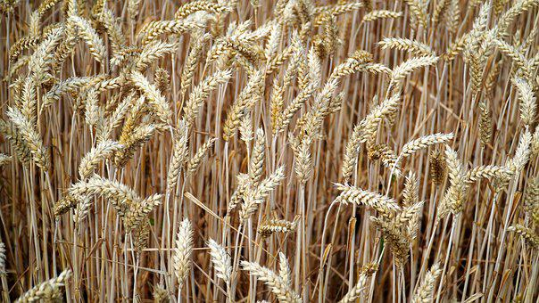 Cereals, Cornfield, Agriculture, Field, Spike, Nature