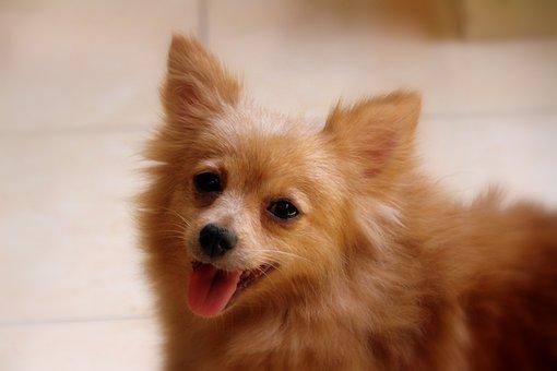 Dwarf Spitz, Pointed, Dog, Cute Dog, Kleinspitz, Pet