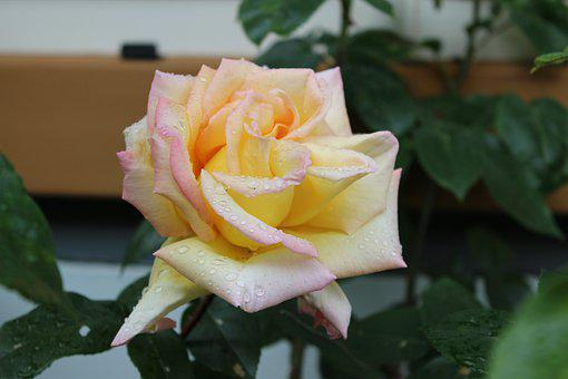 Rose, Yellow, Flower, Blossom, Bloom
