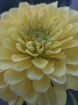Flower, Yellow, Zinnia, Flowers, Summer