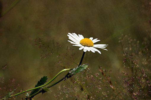 Flower, Flowers, Chamomile, Yellow