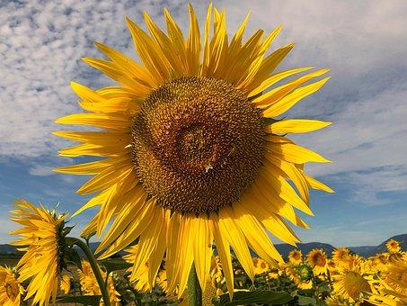 Sunflower, Heart, Flower, Yellow, Field