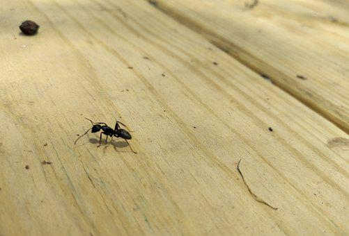 Ant, Wood, Black, Insect, Work, Brown