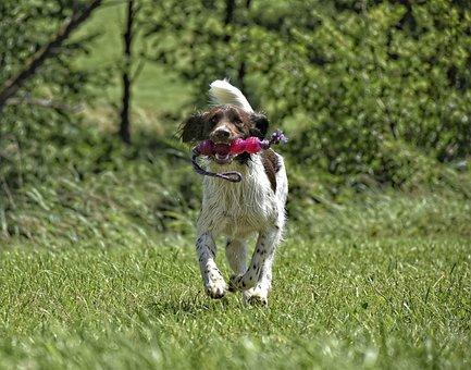 Dog, Münsterländer, Mammal, Hunting Dog, Purebred Dog