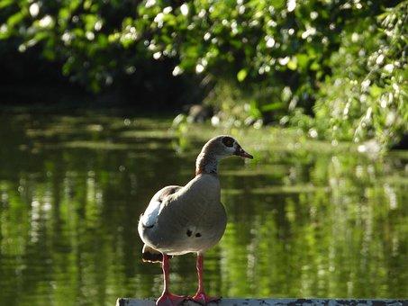 Duck, Pond, Lake, Water Bird, Water