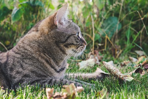 Cat, Outdoor, Tabby, Nature, Grass, Outdoors, Portrait