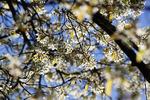 Amelanchier, Tree, Bleed, Bloom, Spring