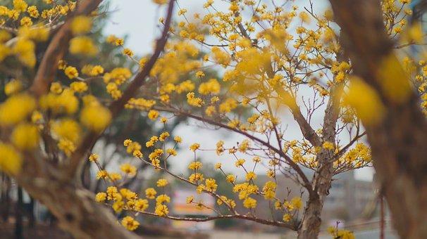 Cornus, Spring, Flowers, Wood, The University, Korea