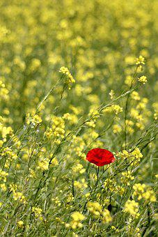 Poppy, Field, Nature, Flower, Summer
