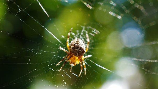 Araneus, Spider, Cobweb, Animal, Insect, Close Up