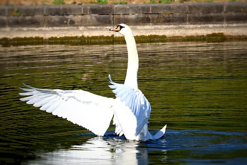 Swan, Bird, Animal, Wing, Pond