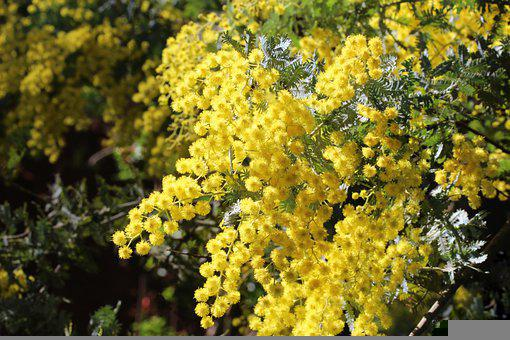 Background, Cootamundra Wattle, Blossoms, Golden