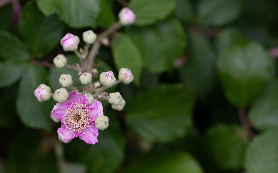 Bramble, Blackberry Blossom, Blackberry, Bloom, Plant