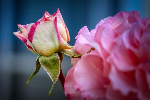 White, Pink, Rose, Bud, Flower, Garden