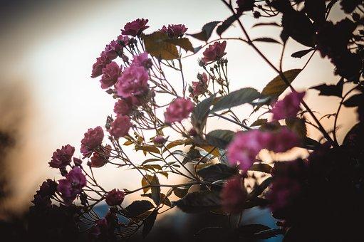 Rose, Bush, Pink, Flower, Roses, Flowers