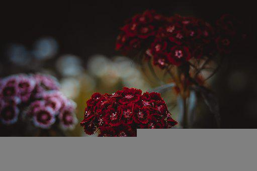 Clove, Bud, Flowers, Nature, Garden, Flower, Carnation