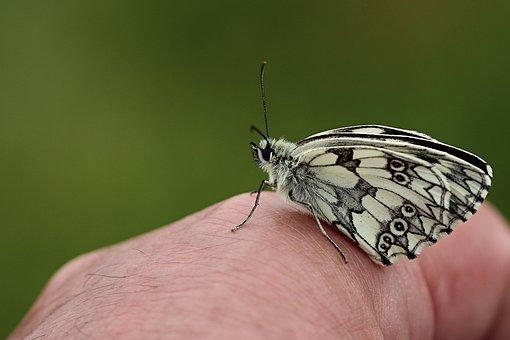 Butterfly, Checkered Butterfly, Close Up, Butterflies