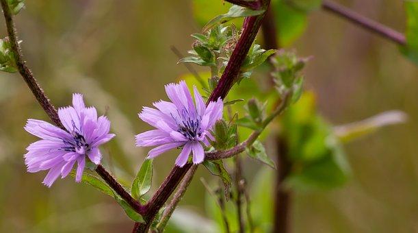 Blue Sowthistle, Cicerbita Macrophylla, Asteraceae