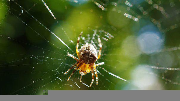 Araneus, Spider, Cobweb, Animal, Insect