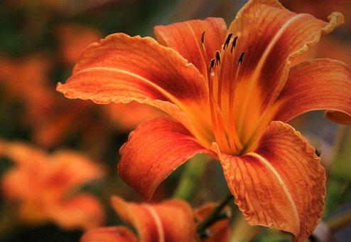 Lily, Orange, Daylily, Blossomed, Petal