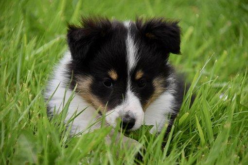 Puppy, Pup, Dog Shetland Sheepdog, Shetland Habs