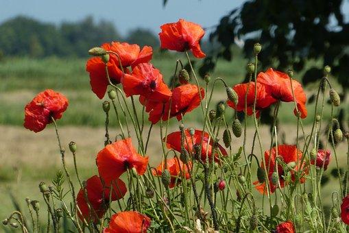 Poppy, Blossom, Red, Flower, Vegetable, Bloom, Summer