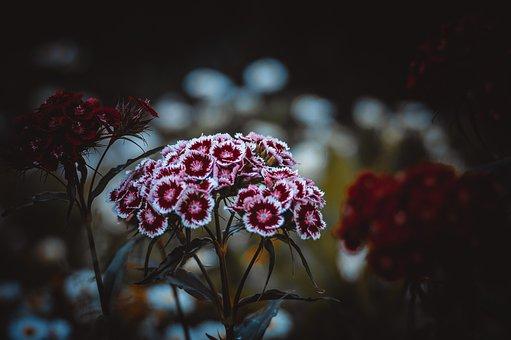 Clove, Flower, Garden, Pink, Bloom, Flowers, Petals