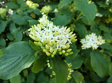 Dogwood, Flower, White, Buds, Cornus Nigra, Plant