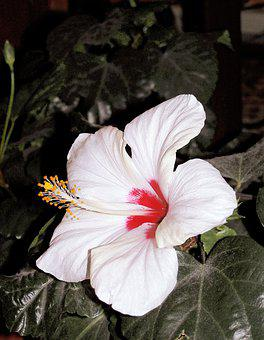 Hibiscus, Flower, White, Mallow Shrub