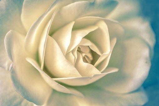 White, Rose, Bud, Flower, Garden