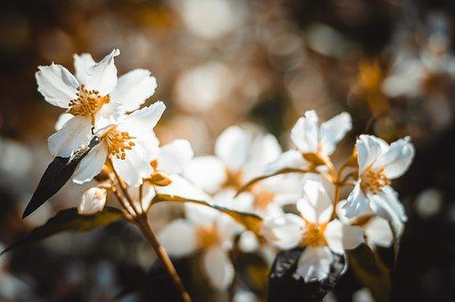 Jasmine, Bush, Summer, Garden, Flowers, Nature, Bloom