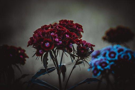 Clove, Flower, Pink, Bloom, Flowers, Petals, Flora