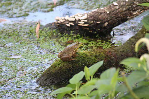 Frog, Swamp, Bullfrog, Amphibian, Nature, Pond, Toad