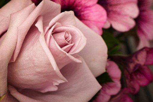 Pink, Rose, Bud, Flower, Garden, Blossom