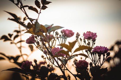 Rose, Tea, Garden, Flowers, Roses