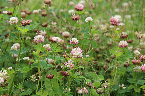 White Clover, Grass, Summer, Clover