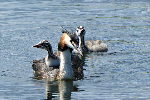 Great Crested Grebe With Young Boy, Great Crested Grebe